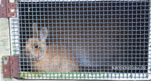 Einzelhaltung im kleinen Kaninchenstall
