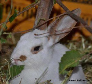 Kaninchen_frisst_Blätter