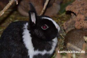 Zwergkaninchen im Kaninchenstall
