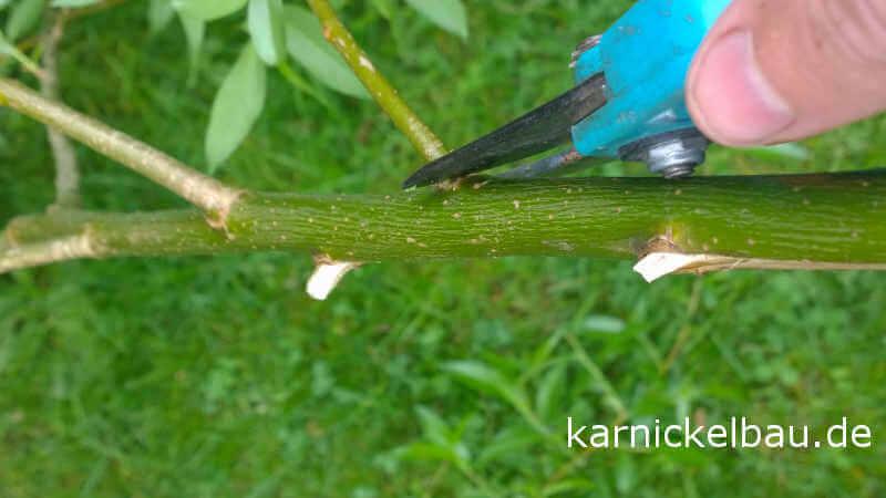 Weidenrute entasten mit der Gartenschere