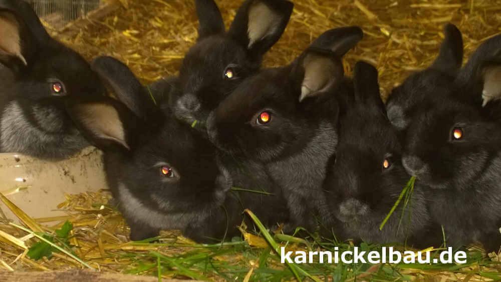 Kaninchen im Kaninchenstall mit Auslauf